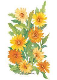 African Daisy Cape Marigold Heirloom Seeds