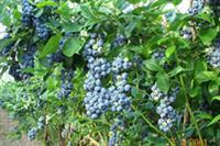 Certified Organic Blueberries & Vegetables