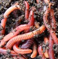 Eco Red Worms