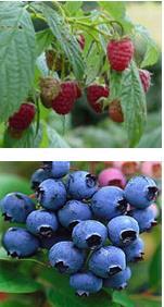 Organic Raspberries and Blueberries