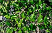 Organic Tree and Vine-Ripened Fruits